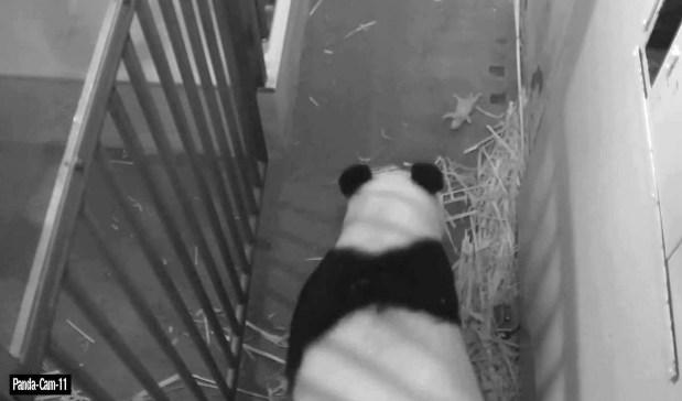 Surviving Washington zoo panda cub is male