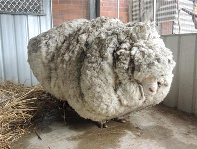 Lost Australian sheep yields 30 sweaters worth of fleece