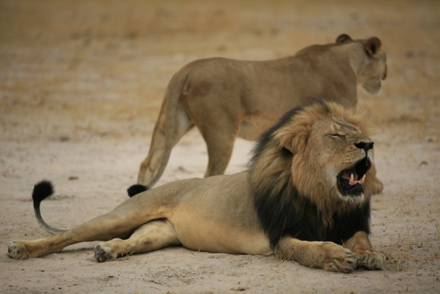 US dentist not wanted for killing Cecil the lion