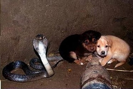 OMG: Heart-warming Animal Love: King Cobra 'guards' 2 puppies in a well for 48 hours!