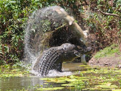 It's a croc-eat-croc world: Big crocodile devours smaller one in Australia