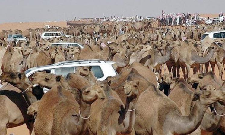 Ksa Mers Coronavirus Rampant In Camel Market In Jeddah
