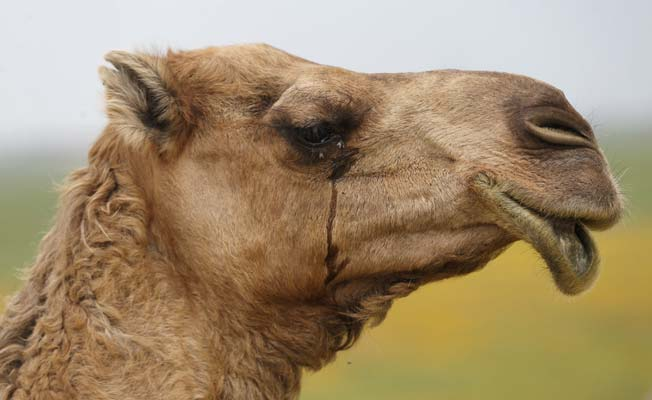 India: Angry camel beheads owner on being tied up and left in the heat