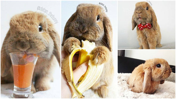 Video: Meet Zlatan, the adorable banana-eating Instagram bunny!
