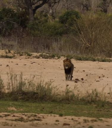 What happens when a leopard catnaps in a lion's territory?
