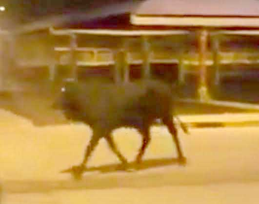 Bull on the run in Hamala