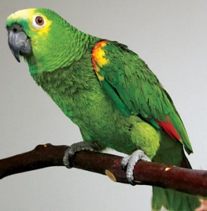 Parrot exposes 'cheating' husband to wife