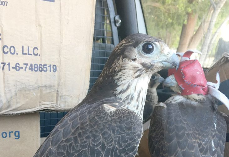 Omani authorities foil bid to smuggle 17 falcons