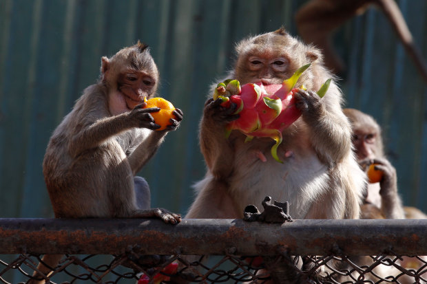I wanna eat like you-oo-oo: Thai town lays on monkey banquet