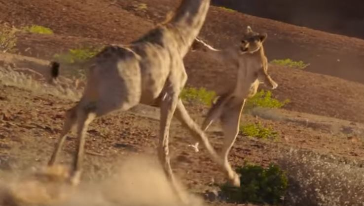 Watch: Planet Earth II captures an epic moment between a giraffe and lioness