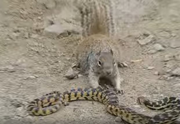Epic battle: Unexpected result in this squirrel-snake fight