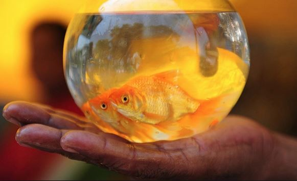 Pet Care: Tips to give your goldfish a long and healthy life!