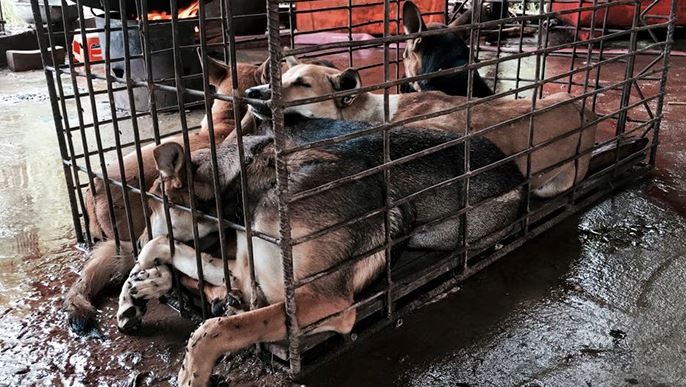 the invalid american views on the yulin dog meat festival Yes, the lychee and dog meat festival in yulin, china, is an annual festival founded in 2010 garnering many headlines around the world, the festival is known for slaughtering thousands of dogs each year.