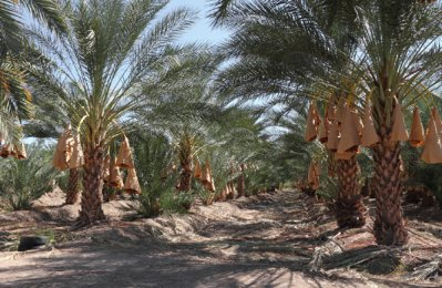 Oman Business: Oman to further develop date palm sector