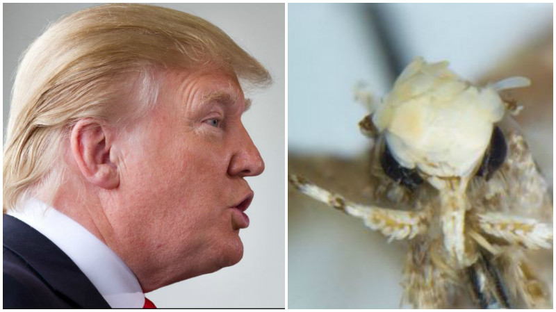 Tiny moth with distinctive 'hairdo' named after Trump