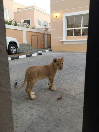 Video: Lion cub spotted roaming the streets of Abu Dhabi
