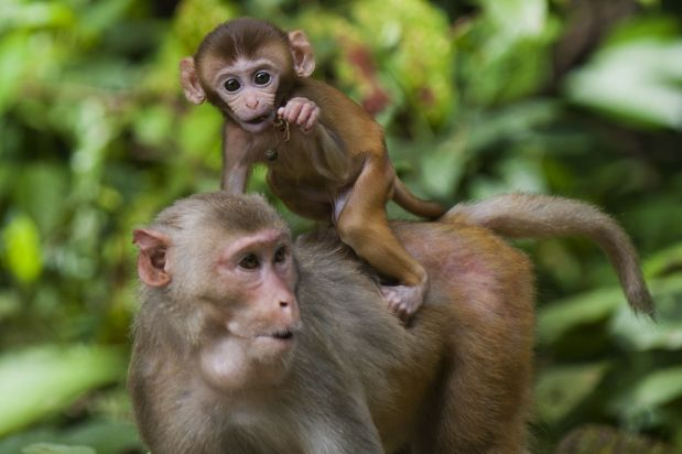 Gel alternative to vasectomy works in monkeys says study