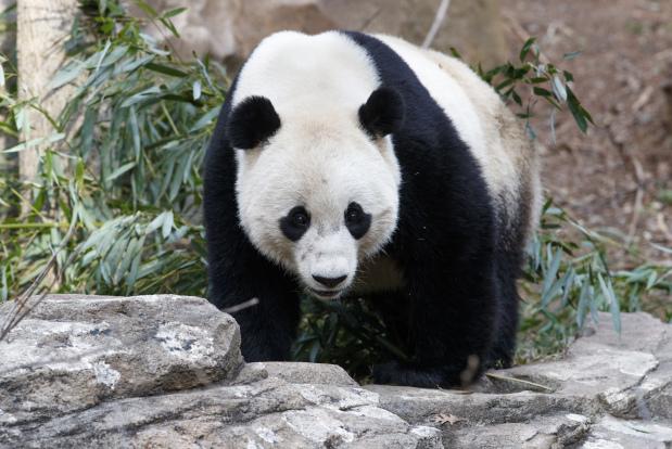 US-born panda Bao Bao lands in China after leaving Washington zoo