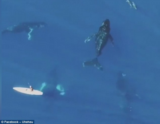 Video: Pod of whales weaving through the ocean right underneath someone on a paddle board