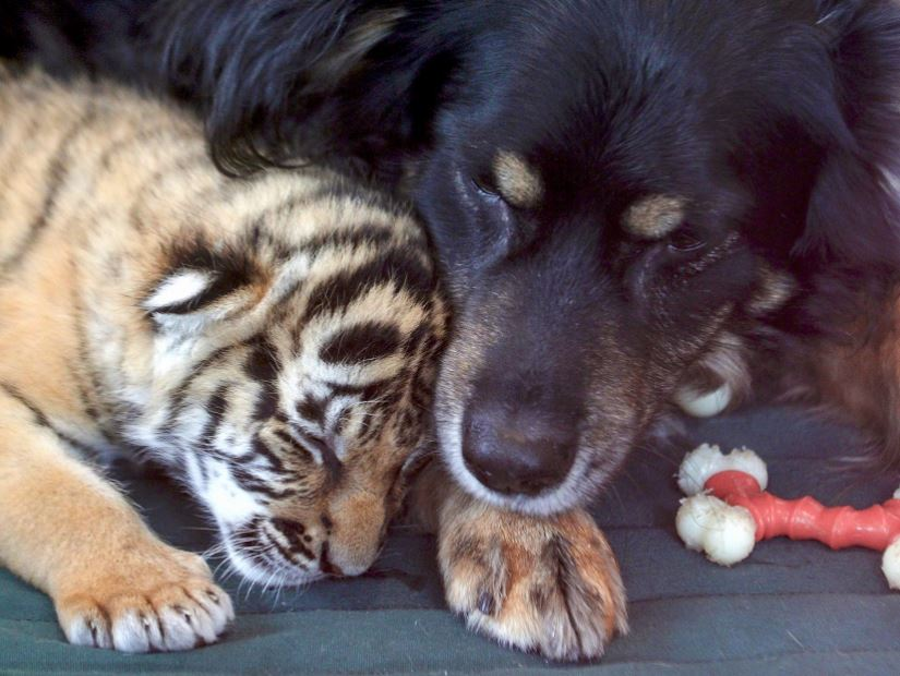 Video: Dog takes over as tiger cubs' 'nanny' at Cincinnati Zoo