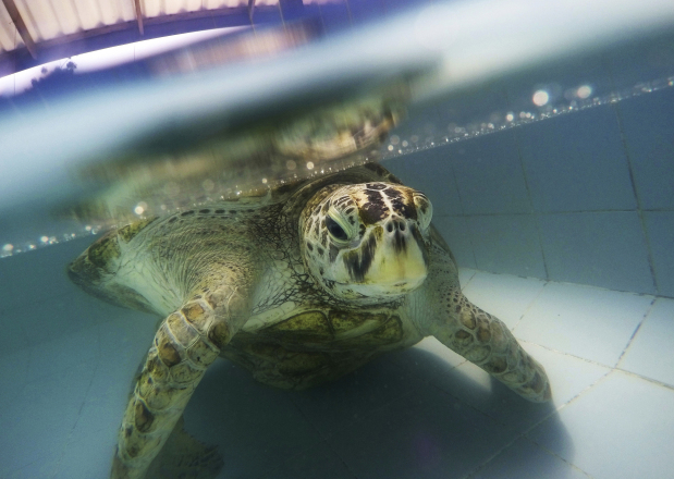 Thailand's 'coin-eating' turtle dies of blood poisoning