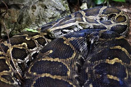 Video: Indonesian plantation worker swallowed whole by python
