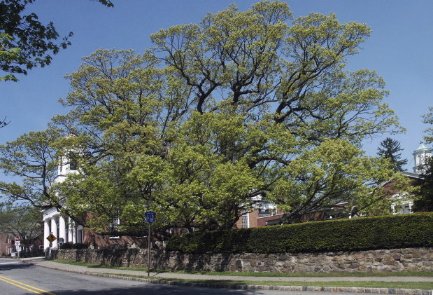 Photos: Beloved 600-year-old white oak tree takes final bow