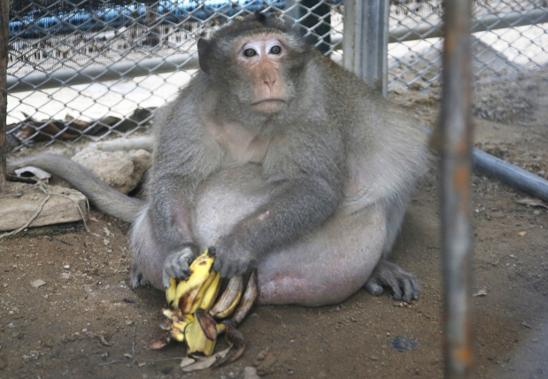 Thailand's chunky monkey on diet after gorging on junk food