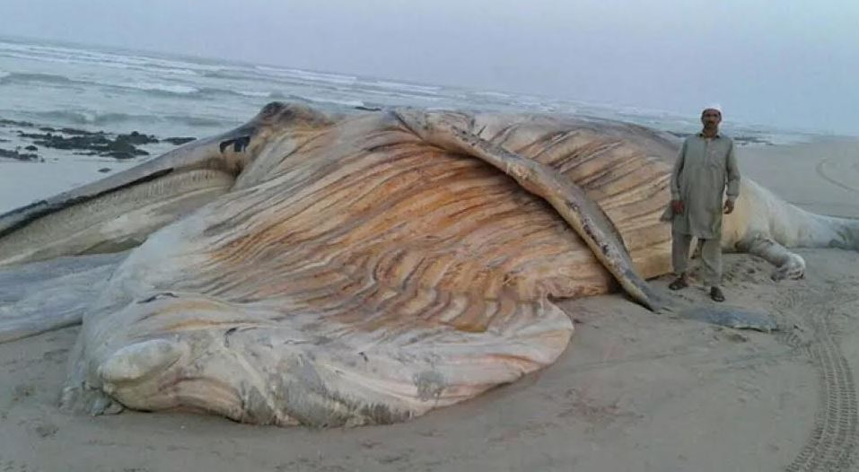 Huge dead humpback whale washes up on Oman's shores