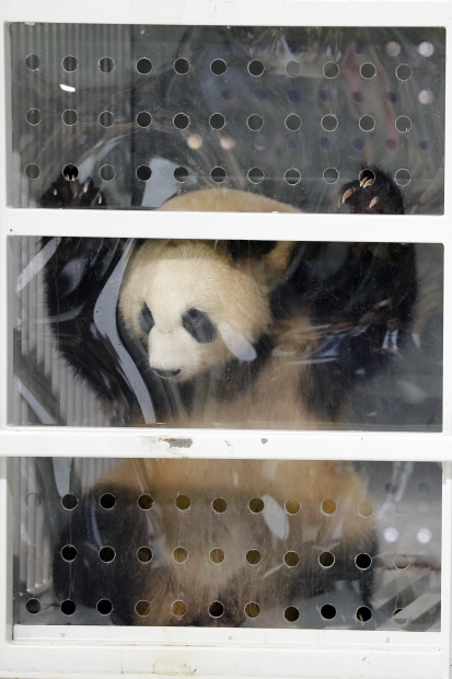 Berlin going nuts over arrival of two giant pandas from China