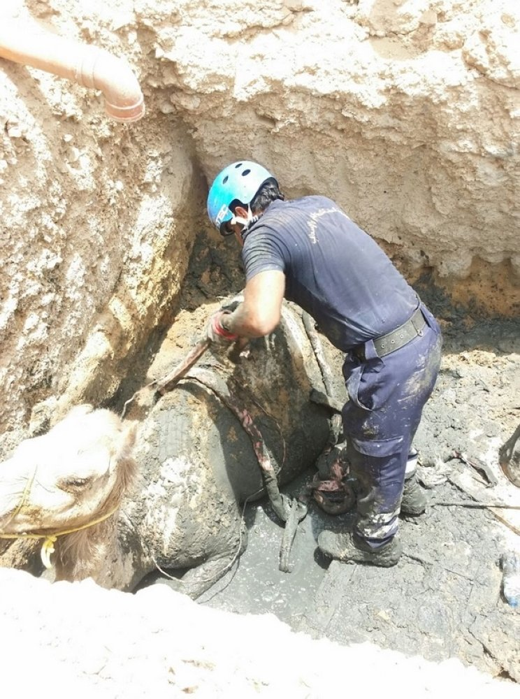Camel pulled out from sewage pit