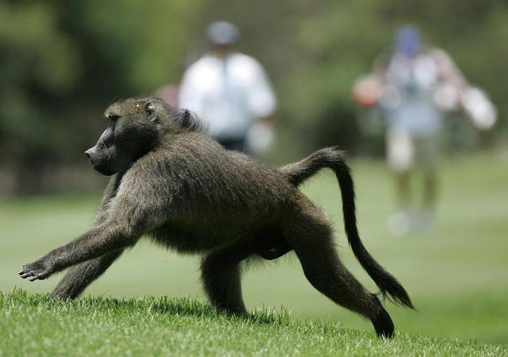 'Curious' baboon causes power cut in Zambian tourist town