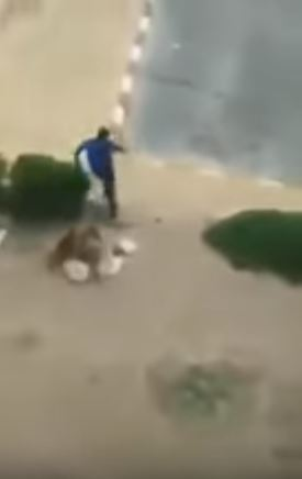 Apes attack people in Taif in broad daylight