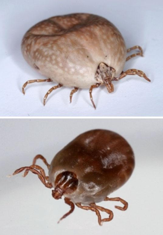 Japan woman dies of tick disease after bitten by sick cat