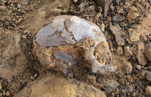 Study: Ancient skull hints at African roots for ape-human ancestor