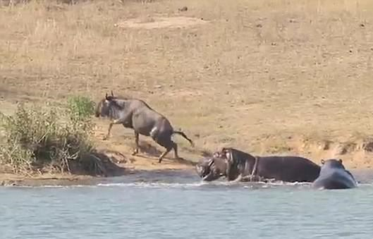 VIDEO: Hippos save a wildebeest from crocodile's jaws