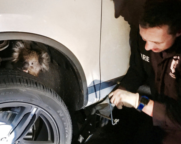 Koala survives 16km drive trapped under 4WD