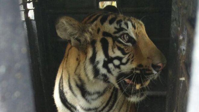 Man-eating Indian tiger dies after being electrocuted