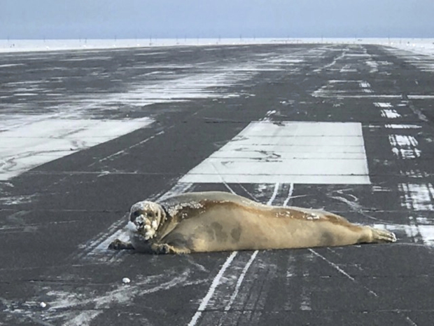 Video: 450-pound seal decides to lounge on airport runway