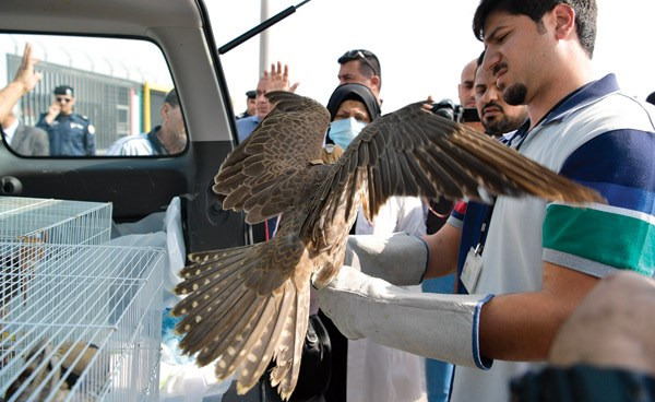 20 falcons seized by Kuwaiti customs