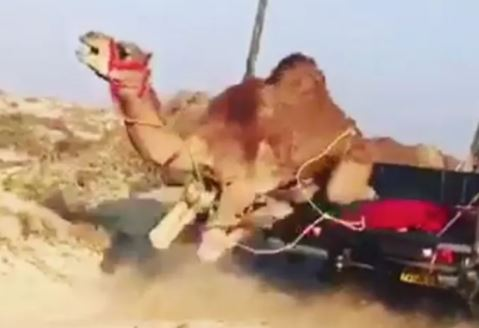 Video of maltreated camel sparks outrage