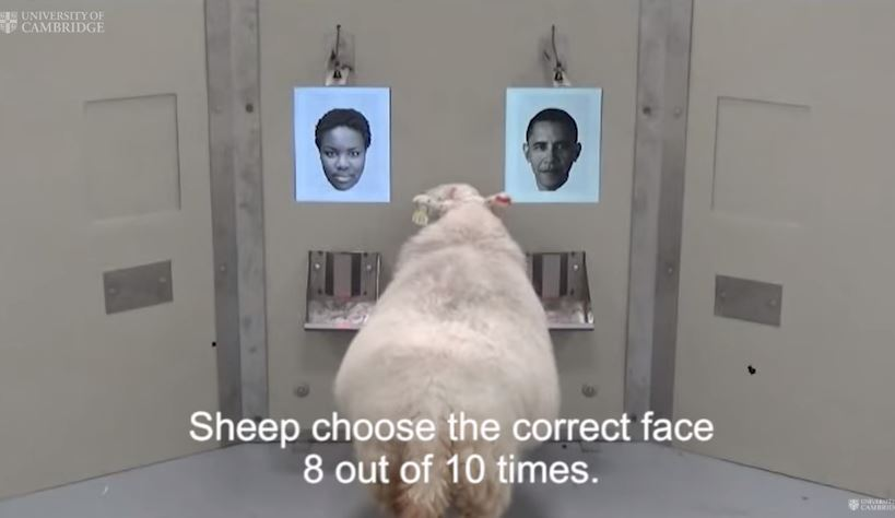 Baa-rack! Sheep recognise Obama from photo