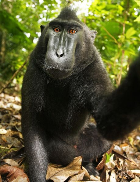 PETA names Indonesia's selfie-snapping monkey named 'Person of the Year'
