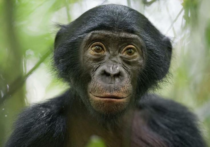 Bonobos prefer bullies over 'nice guys'