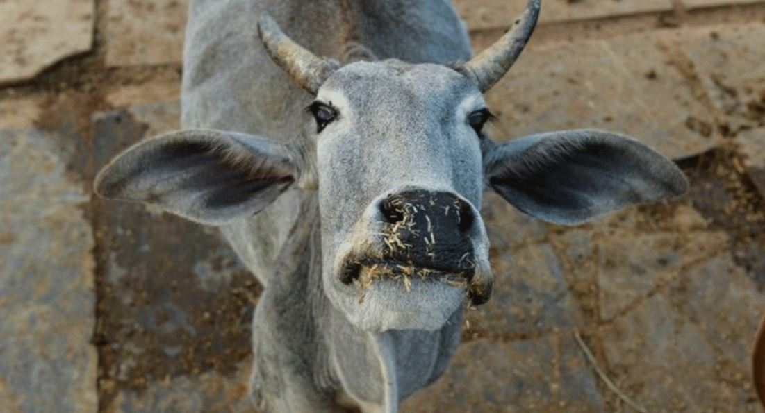 Nobody moove! Cow causes chaos at Indian airport