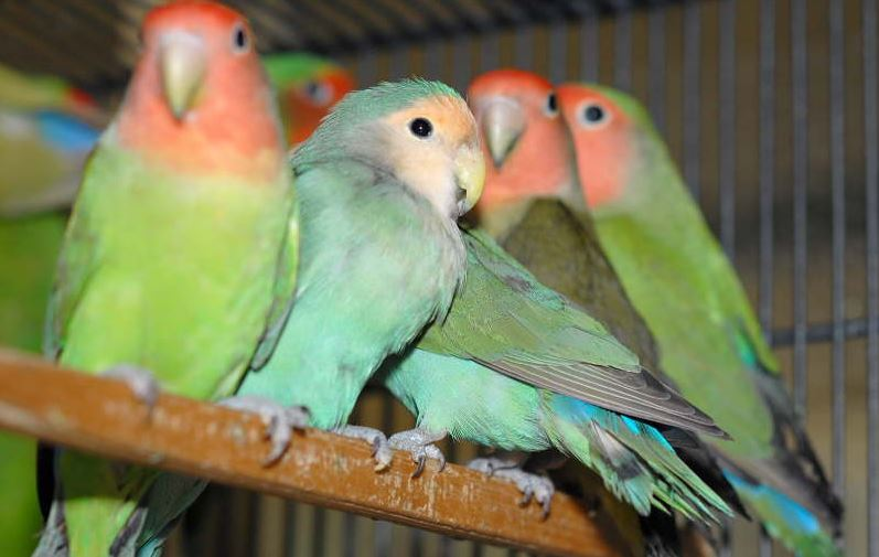 Oman bans imports of live birds from Iraq