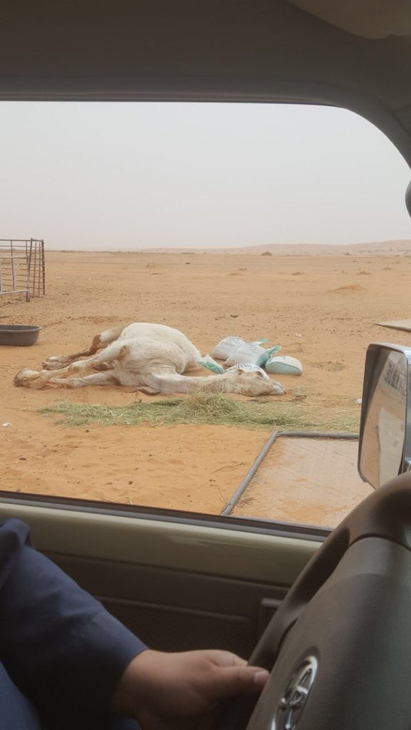 Multi-million dollar camel found dead in Saudi desert
