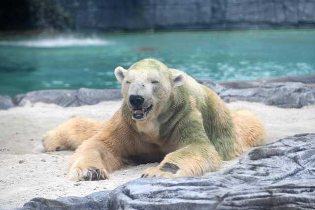 PHOTOS: Inuka, first polar bear born in the tropics, may be put down