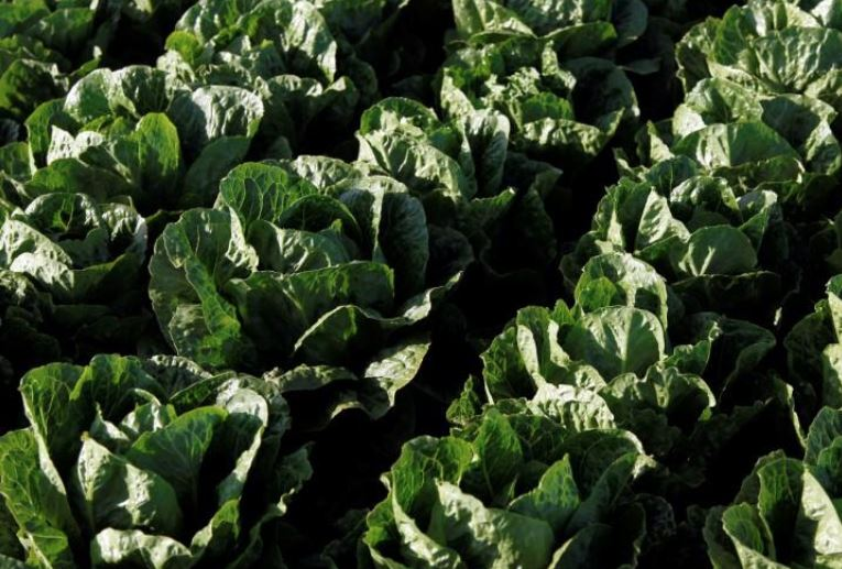 Ninety-eight now sick from romaine lettuce-linked E. coli
