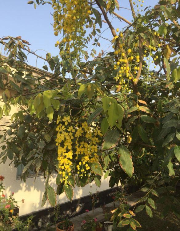 Photo Gallery: Beautiful Cassi Fistula flowers in full bloom in Bahrain